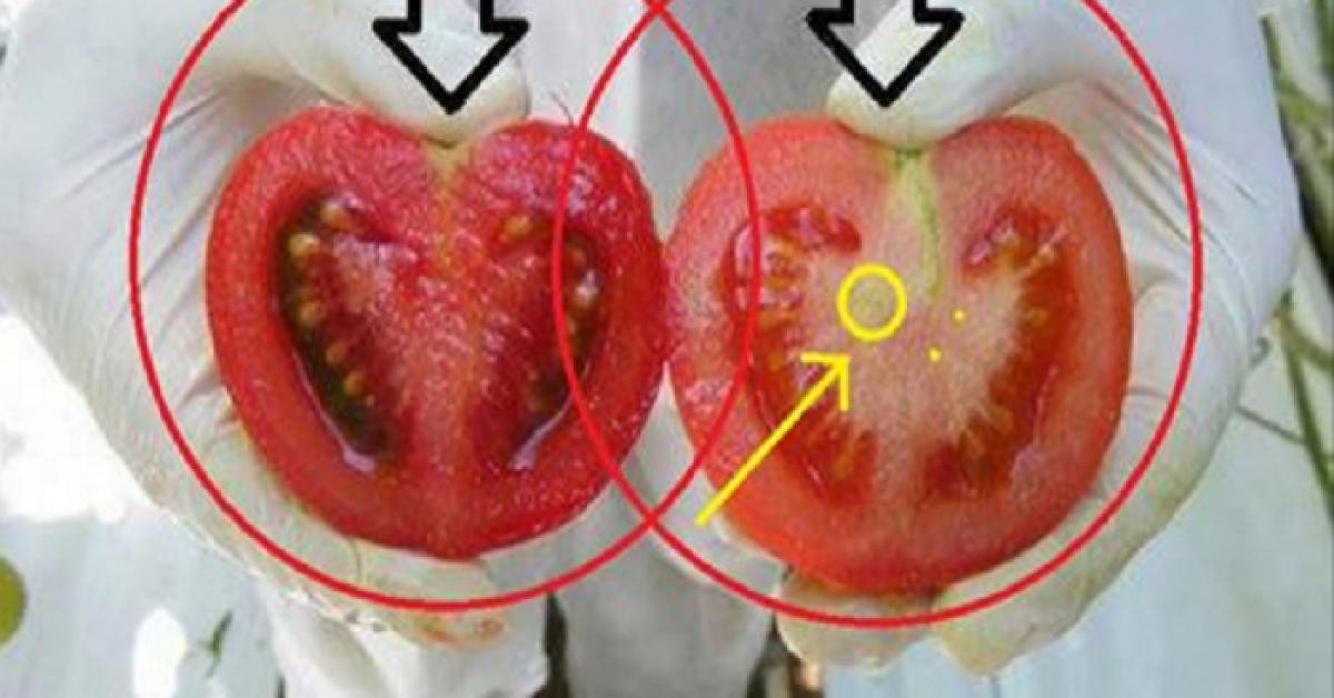 Voici comment reconnaitre des tomates genetiquement modifiees en deux etapes 1