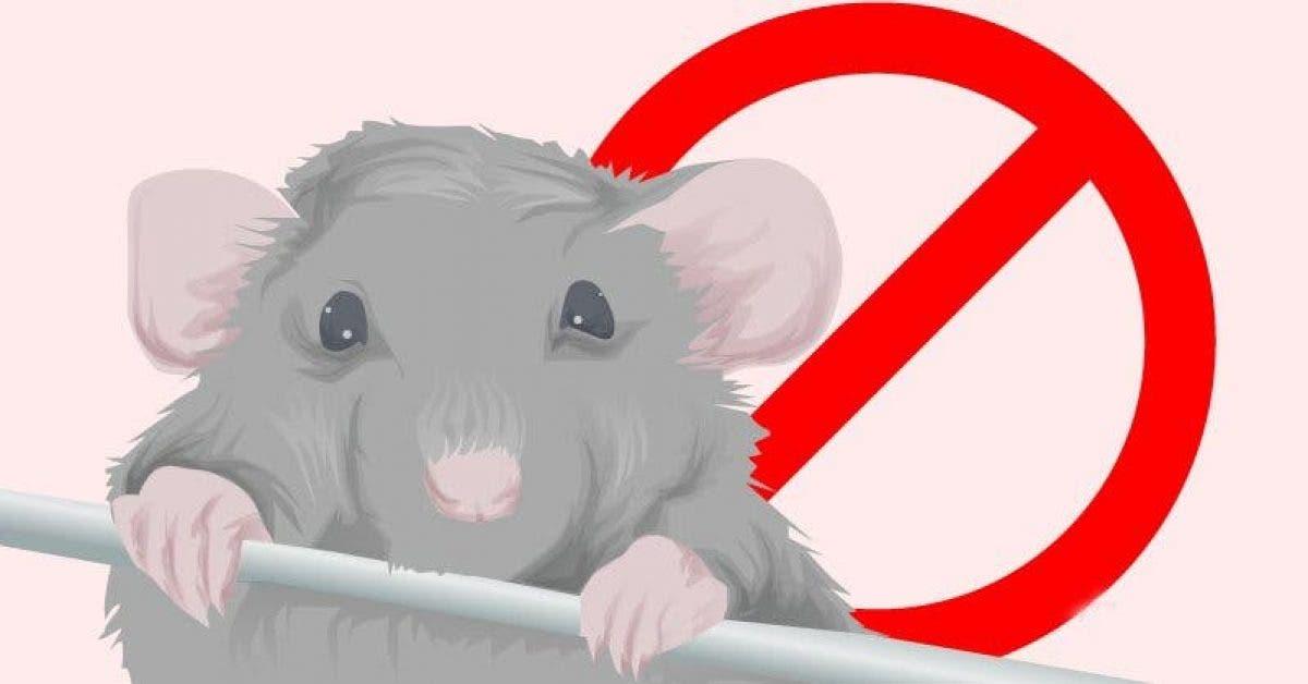 Voici comment vous débarrasser des souris à la maison rapidement
