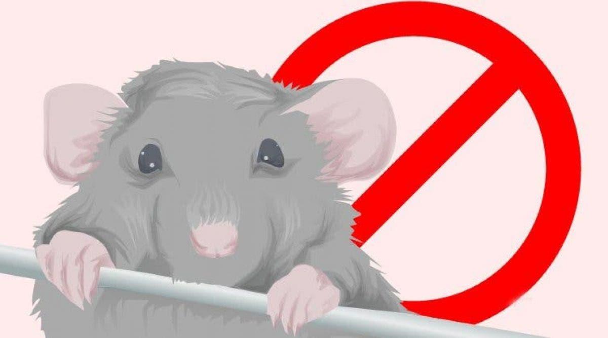 Huiles Essentielles Contre Les Souris voici comment vous débarrasser des souris à la maison rapidement
