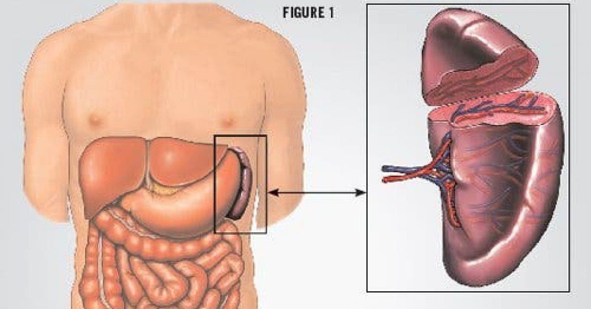 Voici les 7 organes sans lesquels vous pouvez vivre 1