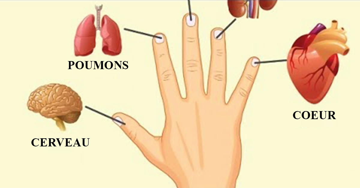 Vos doigts sont lies a vos organes 1