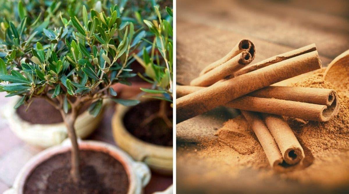 apprenez-a-faire-pousser-de-la-cannelle-facilement-chez-vous-a-la-maison