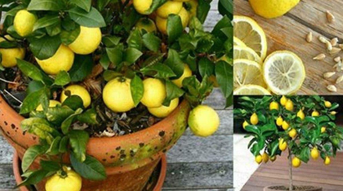 apprenez-a-faire-pousser-du-citron-chez-vous-en-7-etapes-faciles-et-economiques