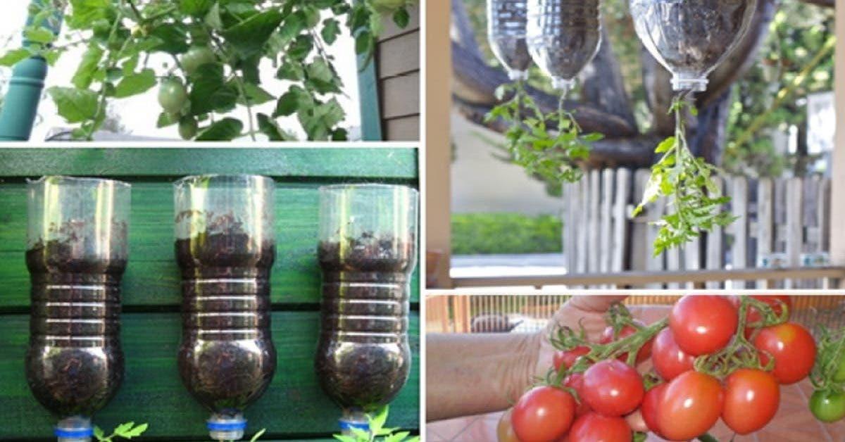 apprenez-a-planter-des-tomates-avec-des-bouteilles-facilement-a-la-maison-etapes-par-etapes