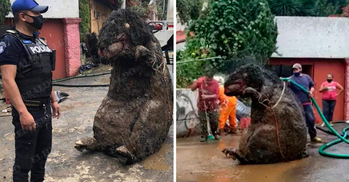apres-avoir-nettoye-les-egouts-suite-aux-inondations-ils-decouvrent-un-rat-geant
