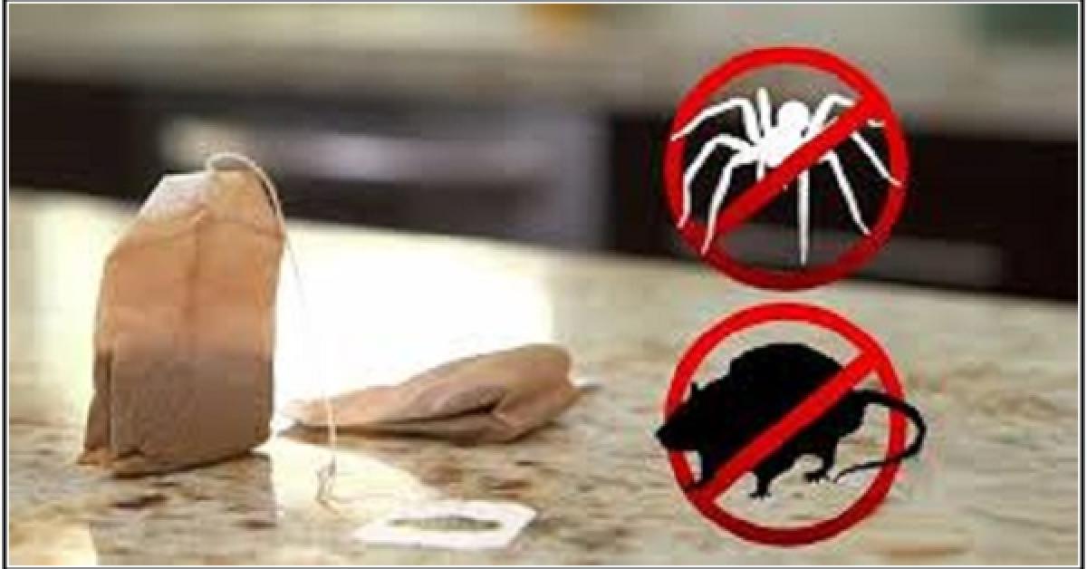 araignée dans votre maison