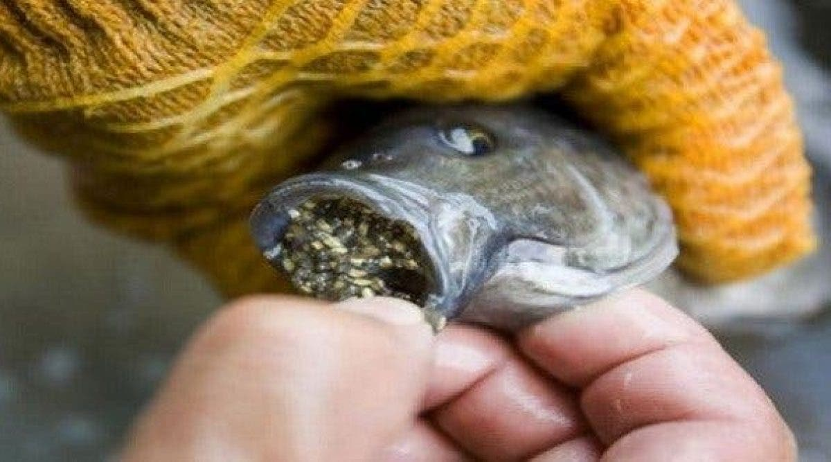Le tilapia, un poisson à éviter