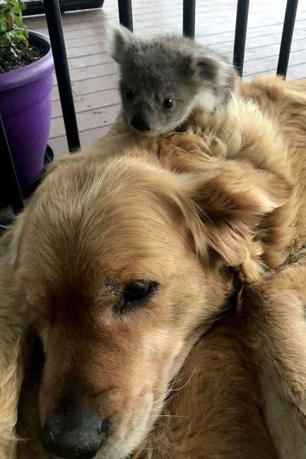 bébé koala chien