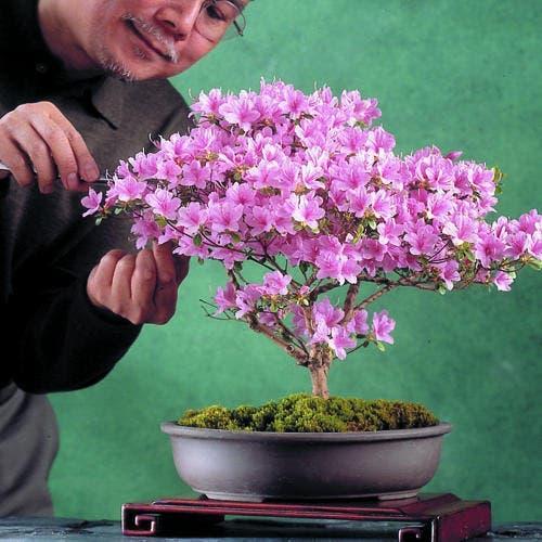 bonsai-azalea-m-x