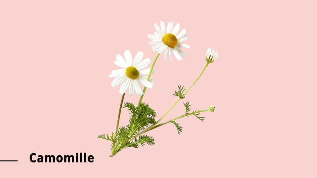 camomille 1