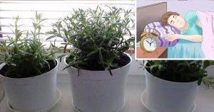 ces-4-plantes-dans-votre-chambre-a-coucher-soignent-linsomnie-et-lapnee-du-sommeil