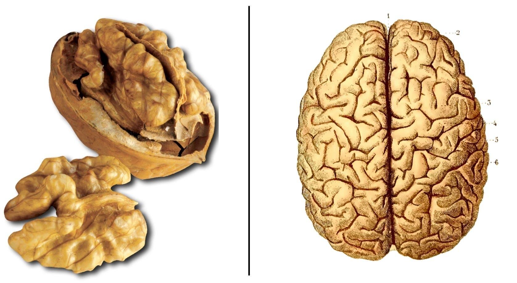 ces-aliments-ressemblent-aux-organes-quils-guerissent-noix-cerveau