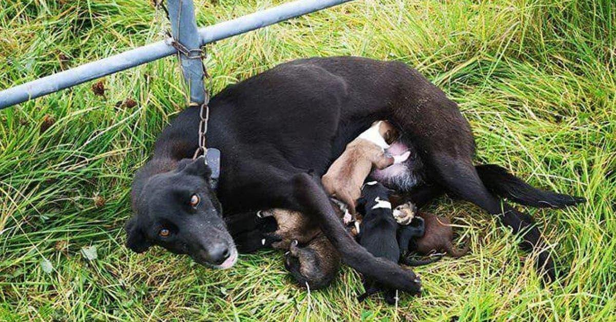 cette pauvre chienne est abandonnee et enchainee a une porte avec ses 6 bebes 1