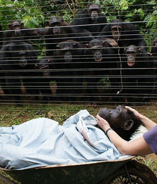 chimpanzes-deuil