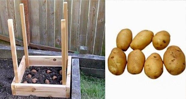 Comment cultiver des pommes de terre chez soi - Comment conserver des pommes coupees ...