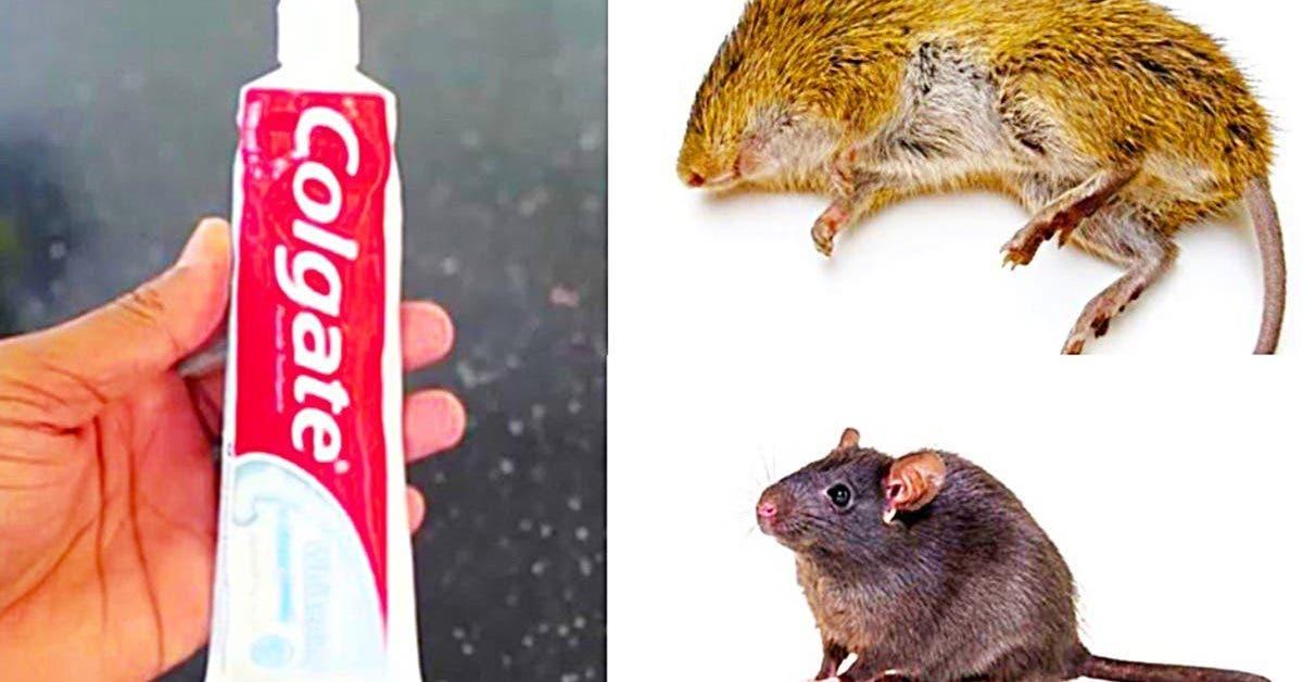 comment-eliminer-les-rats-et-les-souris-avec-du-dentifrice