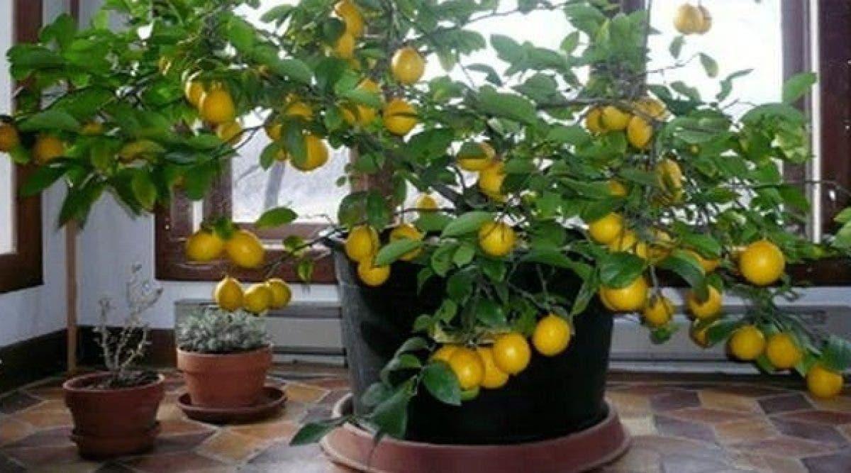 Comment Cultiver Un Citronnier En Pot comment faire pousser des agrumes chez vous facilement