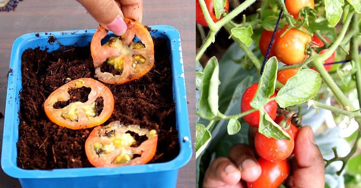 10 étapes pour obtenir 22 à 35 kg de tomates de chaque plante que vous cultivez