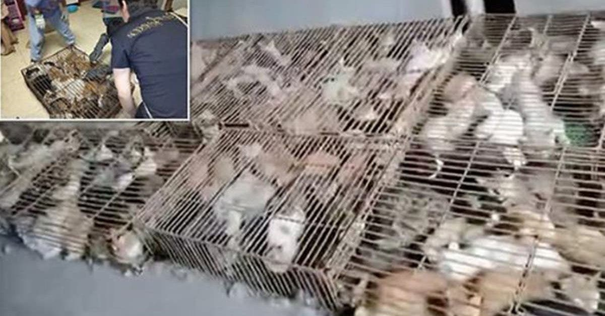 des-centaines-de-chats-sont-emprisonnes-dans-des-cages-pour-etre-manges