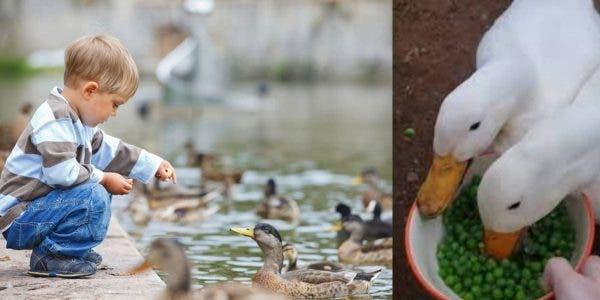 des-organisations-exhortent-a-nourrir-les-canards-de-pois-surgeles-plutot-que-de-pain