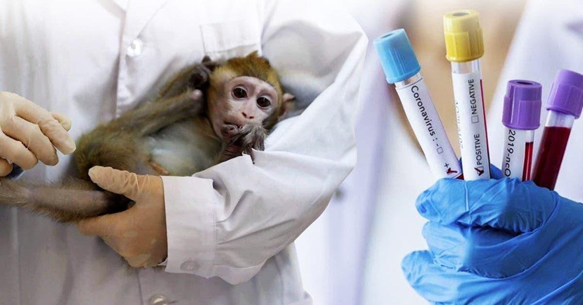 des-singes-volent-des-echantillons-de-tests-sanguins-du-coronavirus