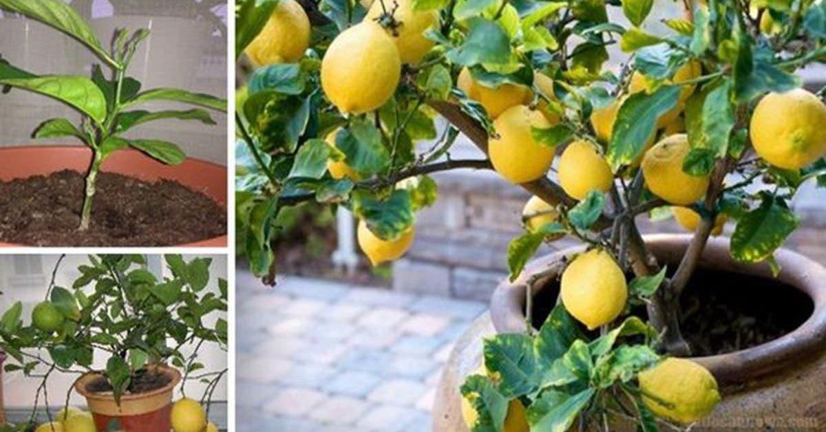 citron à la maison