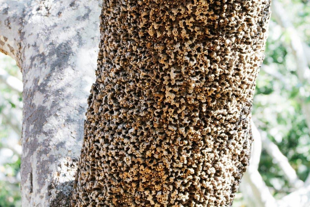 D'autres fois, ils peuvent s'avérer vitaux, c'est le cas notamment de ces arbres utilisés par les oiseaux pic du type pivert qui y stockent leur nourriture.