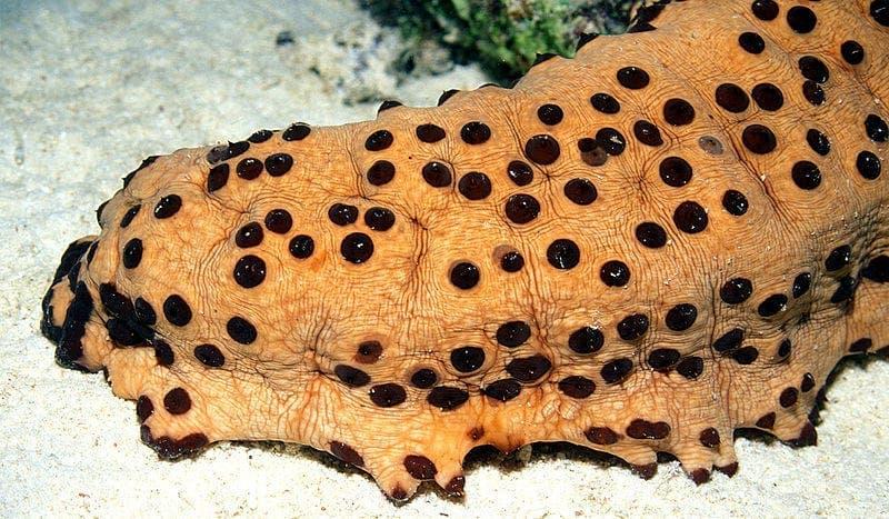Ce concombre de mer visqueux est également couvert de petits trous.