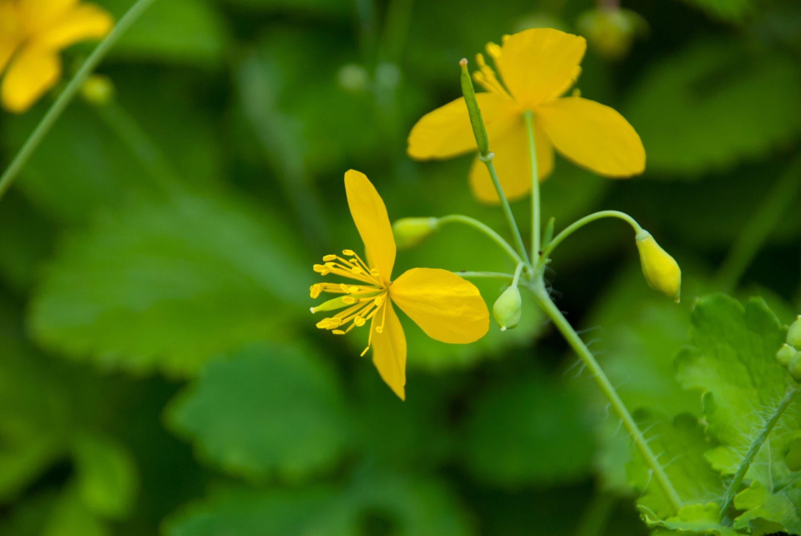 fleur de chelidoine