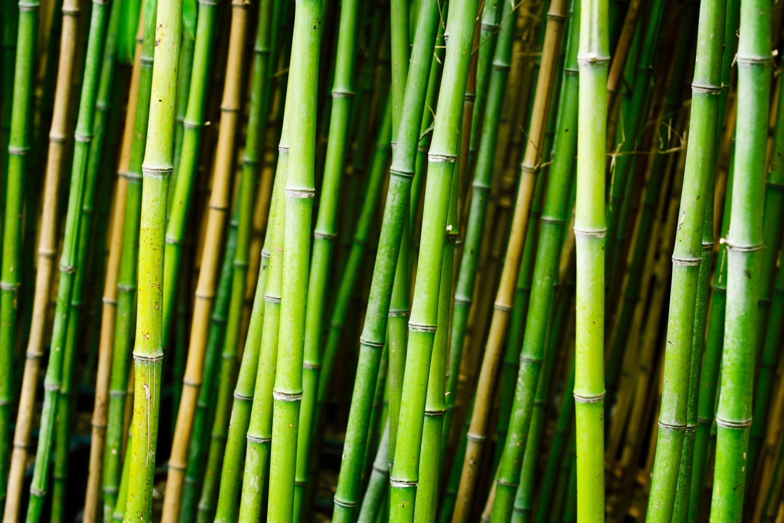 foret de bamboo