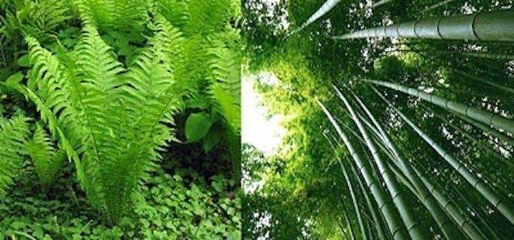 fougere et bambou 2