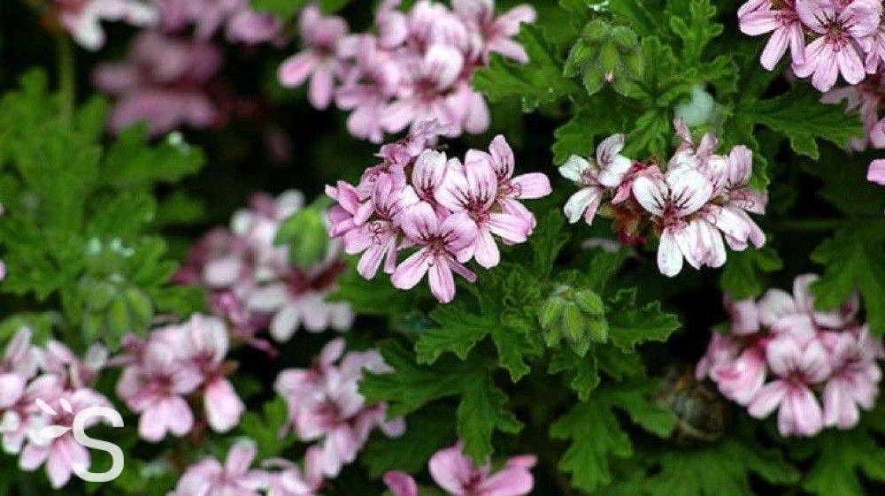 geranium 3