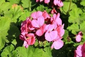 geranium de cap