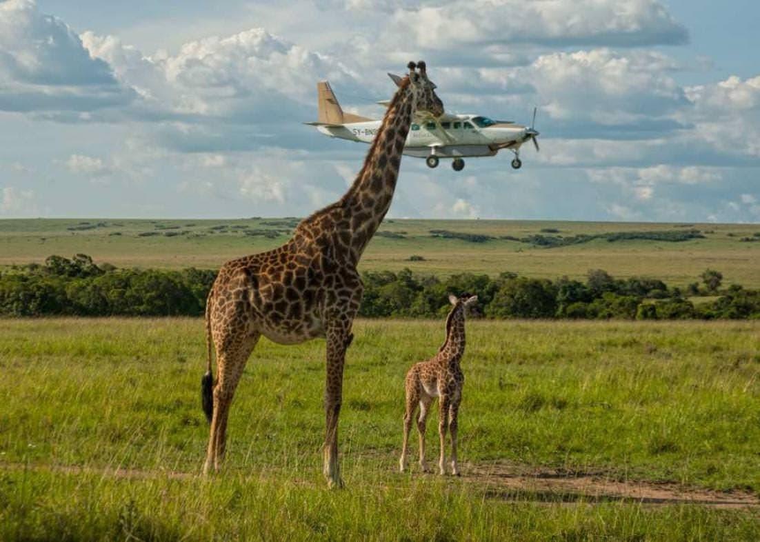girafe geante