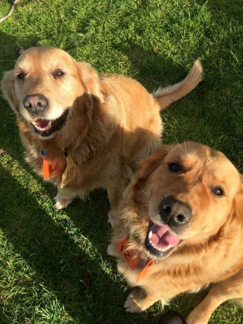 golden retrivers