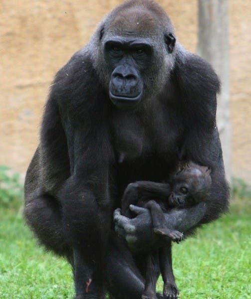 gorilles-deuil