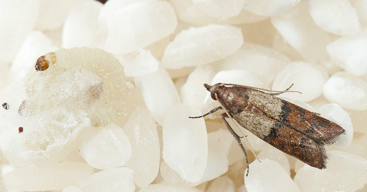 Comment éliminer les insectes et les mites alimentaires de la cuisine sans produits chimiques ?