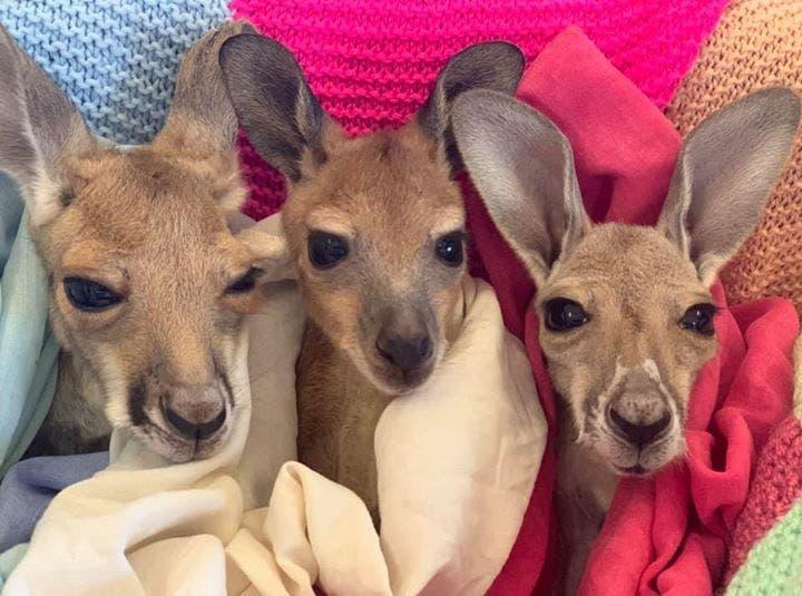 Un kangourou sauvé