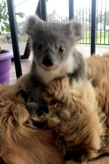 koala labrador
