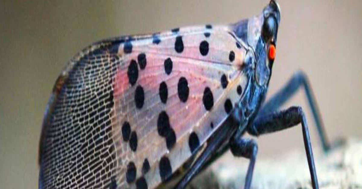 la-lanterne-tachetee-fulgore-tachete-un-insecte-dangereux