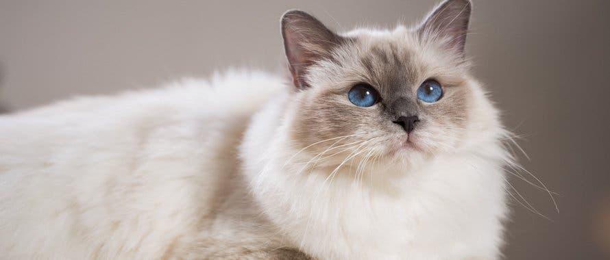 La race de votre chat révèle votre vraie personnalité