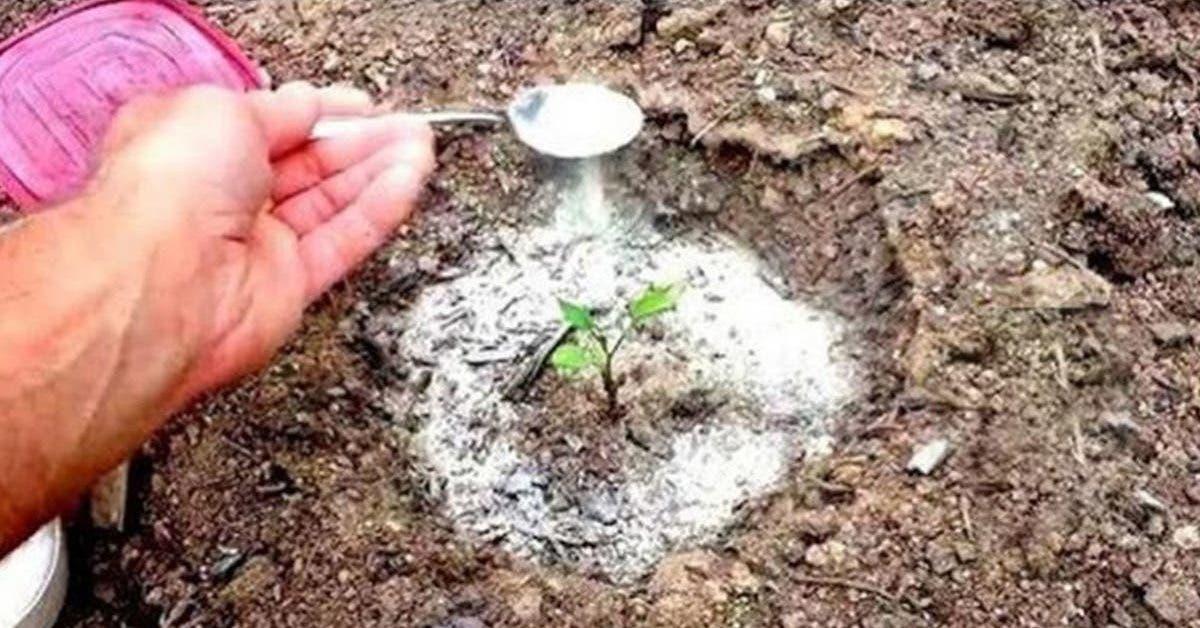 le-bicarbonate-de-soude-est-le-meilleur-ami-du-jardinier-voici-10-utilisations-astucieuses-dans-le-jardin