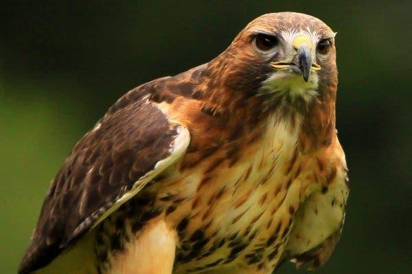 le faucon