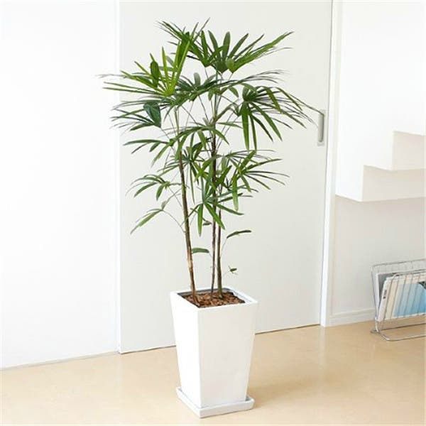 le palmier en bambou