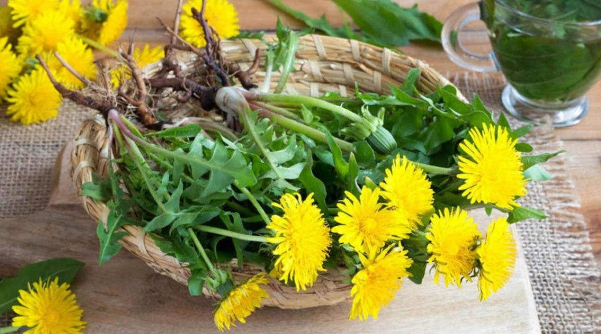 le-pissenlit-nest-pas-une-mauvaises-herbe-il-favorise-la-construction-osseuse-mieux-que-le-calcium-nettoie-le-foie-et-soigne-leczema