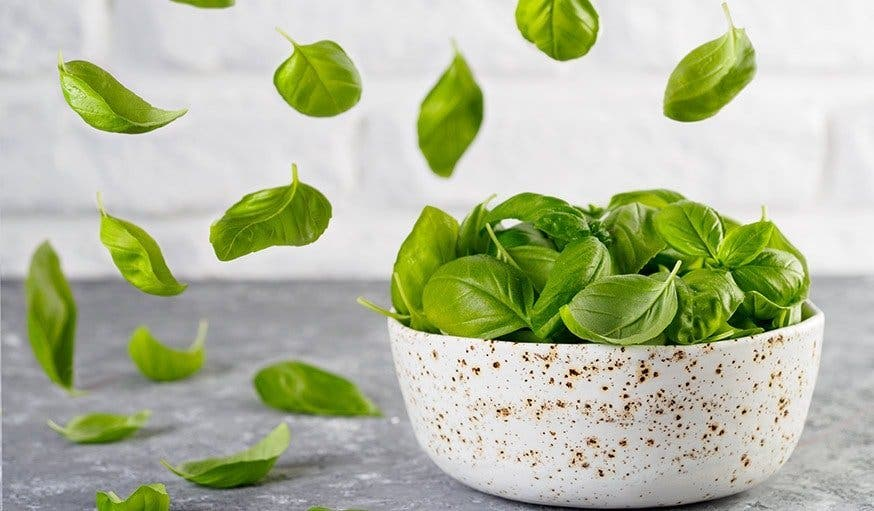 les feuilles de basilic