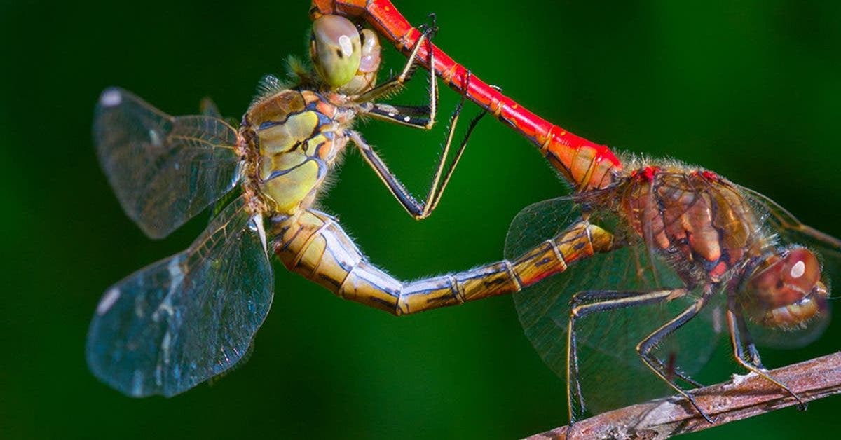 les-libellules-femelles-simulent-une-mort-subite-pour-eviter-les-avances-des-males