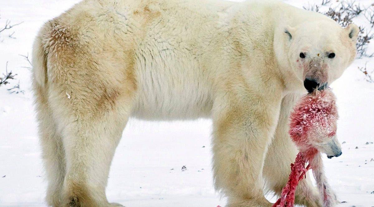 les-ours-polaires-sont-contraints-au-cannibalisme-a-cause-du-rechauffement-climatique