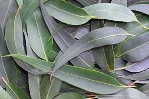 leucalyptus