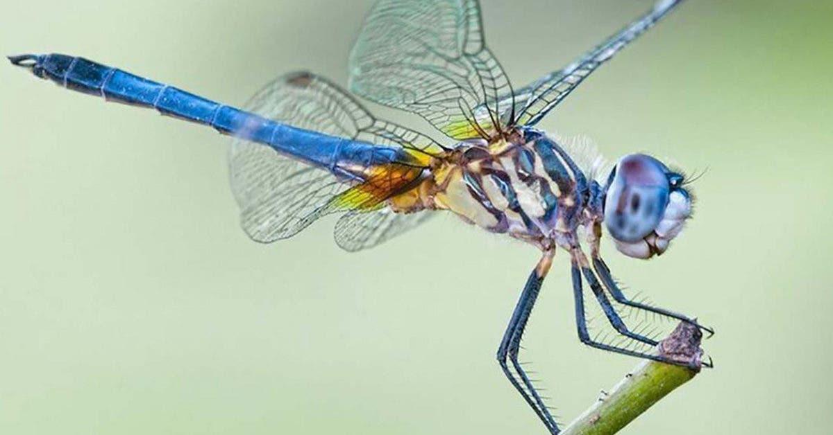 Une libellule peut manger des centaines de moustiques par jour : cultiver ces plantes dans votre maison pour les attirer